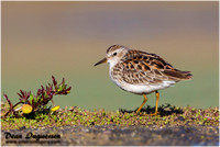 Sandpipers, Snipe, Stints and allies