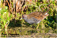 Waterhens, Rails and Crakes