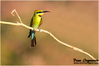 Bee-eater and Dollarbird