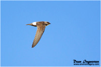 Swifts and Needletails
