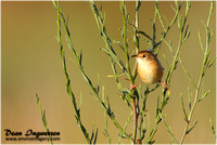 Grassbirds, Songlarks and Cisticolas