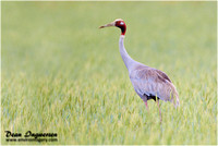 Crane and Brolga